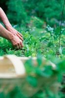 野菜を摘み取る人