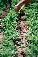 菜園を手入れする人 21022002445| 写真素材・ストックフォト・画像・イラスト素材|アマナイメージズ