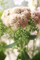セダムの多肉植物の花