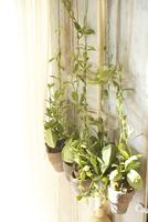 多肉植物(ディスキディア)のハンギング