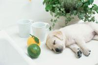 ラブラドールレトリバー 21028000343| 写真素材・ストックフォト・画像・イラスト素材|アマナイメージズ