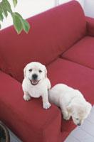 ソファの上の犬(ラブラドールレトリバー2匹) 21028000976| 写真素材・ストックフォト・画像・イラスト素材|アマナイメージズ
