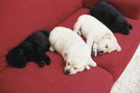 ソファに寝転ぶ犬(ラブラドールレトリバー4匹) 21028000981| 写真素材・ストックフォト・画像・イラスト素材|アマナイメージズ