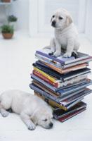 本の上に座る犬と横たわる犬(ラブラドールレトリバー2匹)