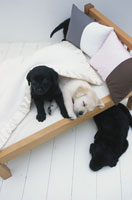 ベッドと犬(ラブラドールレトリバー4匹)