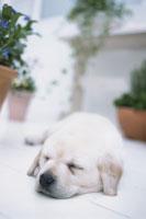 鉢植えのそばで眠る犬(ラブラドールレトリバー) 21028001015| 写真素材・ストックフォト・画像・イラスト素材|アマナイメージズ