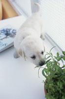 葉の匂いを嗅ぐ犬(ラブラドールレトリバー) 21028001028| 写真素材・ストックフォト・画像・イラスト素材|アマナイメージズ