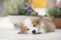 鉢植えのそばで眠る犬(コーギー)