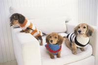ソファで遊ぶカラフルなセーターを着た三匹の子犬
