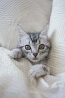 白いブランケットにくるまる猫