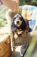 籐のチェア座る子犬