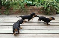 テラスで遊ぶ三匹の子犬
