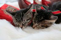 くっついて眠る2匹の子猫