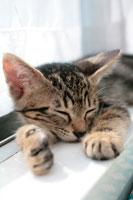 窓辺で寛いで眠る子猫 21028003423B  写真素材・ストックフォト・画像・イラスト素材 アマナイメージズ
