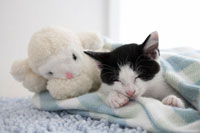 ヒツジのぬいぐるみと眠る子猫