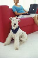犬(ワイアーフォックステリア)と赤いソファに座る女性