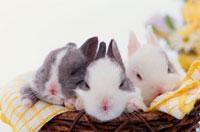 籠に入って眠る3匹のウサギ