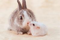 ミニウサギとハムスター 21028004584| 写真素材・ストックフォト・画像・イラスト素材|アマナイメージズ