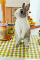 キッチンクロスの上で立ち上がるミニウサギ