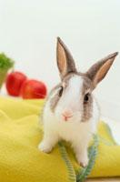 黄色いブランケットの上のミニウサギ
