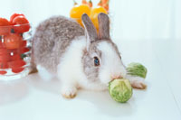 芽キャベツをかじるウサギ