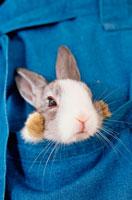 ポケットの中のミニウサギ
