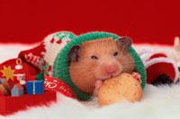 クッキーをかじるハムスター