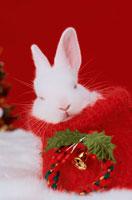 赤いソックスの中で眠る白いうさぎ 21028004660| 写真素材・ストックフォト・画像・イラスト素材|アマナイメージズ