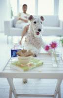 テーブルに足をかけた犬(ワイアーフォックステリア)