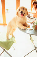テーブルに前足をかけた子犬
