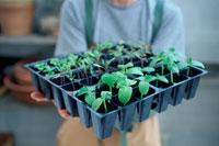 苗床に並んだ植物の芽 21028005716| 写真素材・ストックフォト・画像・イラスト素材|アマナイメージズ