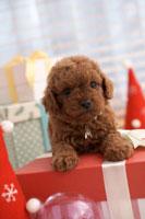 トイプードル クリスマスイメージ