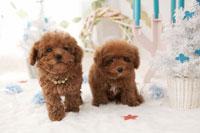 2匹のトイプードル クリスマスイメージ
