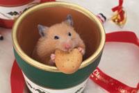 緑の鉢の中でクッキーを食べるゴールデンハムスター