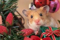 クリスマスプレゼントとゴールデンハムスター