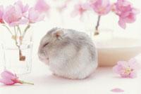 桜の花とジャンガリアンハムスター