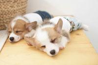 眠る2匹のコーギー