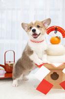鏡餅とコーギー 21028007579A| 写真素材・ストックフォト・画像・イラスト素材|アマナイメージズ