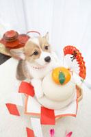 鏡餅とコーギー 21028007580| 写真素材・ストックフォト・画像・イラスト素材|アマナイメージズ
