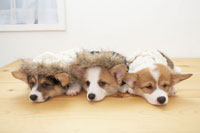 セーターを着て寝ている3匹のコーギー