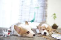 夏のイメージ 寝ている2匹のコーギー