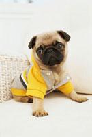 黄色とグレーの服を着たパグ 21028008108| 写真素材・ストックフォト・画像・イラスト素材|アマナイメージズ