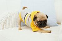 黄色とグレーの服を着たパグ 21028008109| 写真素材・ストックフォト・画像・イラスト素材|アマナイメージズ