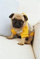 黄色とグレーの服を着たパグ 21028008110| 写真素材・ストックフォト・画像・イラスト素材|アマナイメージズ