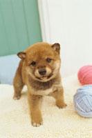 柴犬と毛糸玉