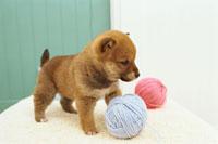 柴犬と毛糸玉 21028008367| 写真素材・ストックフォト・画像・イラスト素材|アマナイメージズ