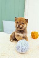 柴犬と毛糸玉 21028008368A| 写真素材・ストックフォト・画像・イラスト素材|アマナイメージズ