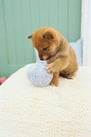 柴犬と毛糸玉 21028008370| 写真素材・ストックフォト・画像・イラスト素材|アマナイメージズ