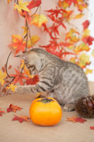 猫と柿と栗と紅葉