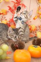 2匹の猫と柿と栗とぶどうと紅葉 21028008759| 写真素材・ストックフォト・画像・イラスト素材|アマナイメージズ